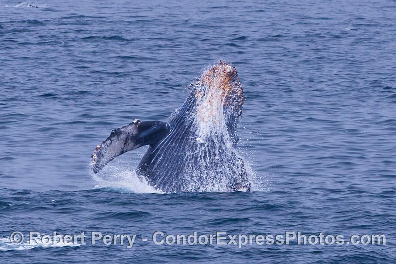 A breaching humpback calf.
