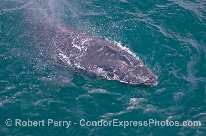 Close up view of a humpback calf's head.  (Shorty)