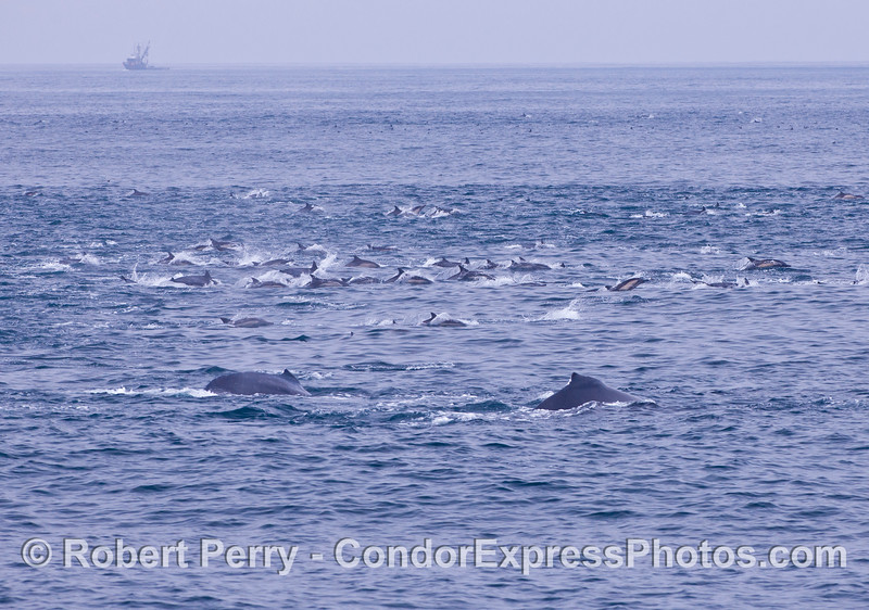 Two humpback whales swim with a large herd of common dolphins.