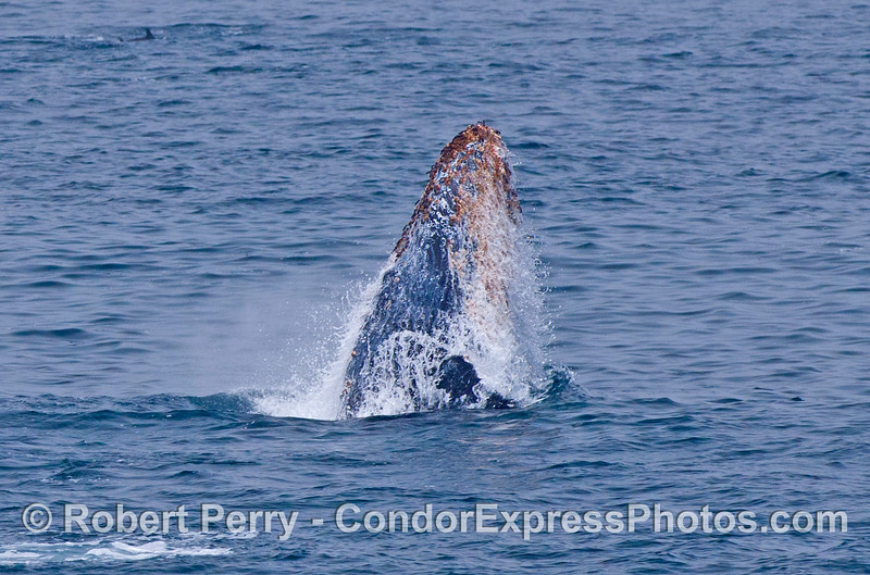 Another breach by a very active humpback whale calf.