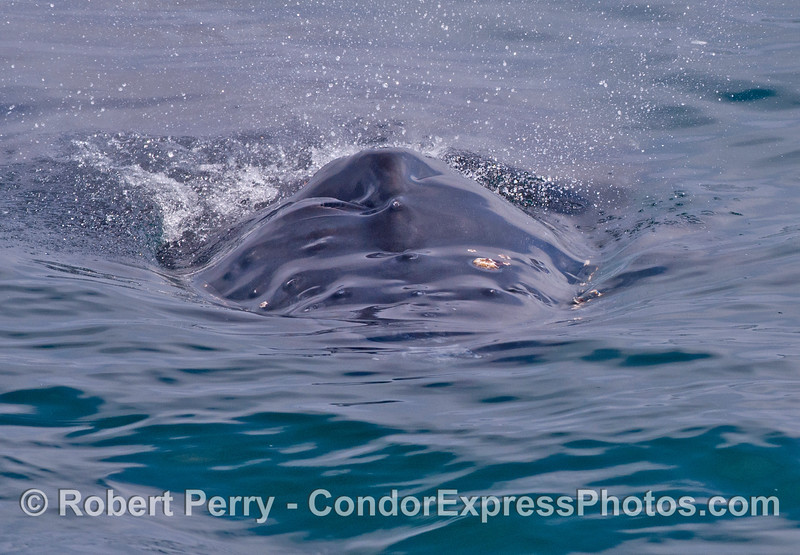 """The humpback whale calf named """"Shorty"""" swims directly at the camera."""