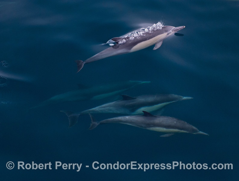 Dolphins under blue water.