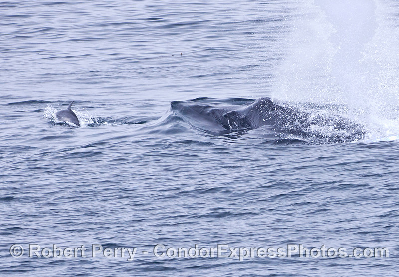 A common dolphin leads a humpback whale.