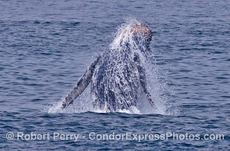 A calf takes off and flies  -  a breaching humpback whale.
