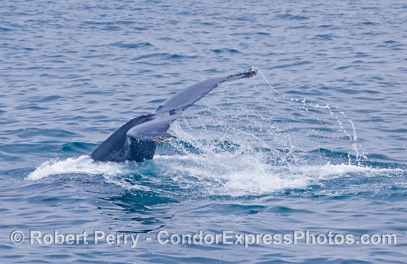 Humpback tail flukes.