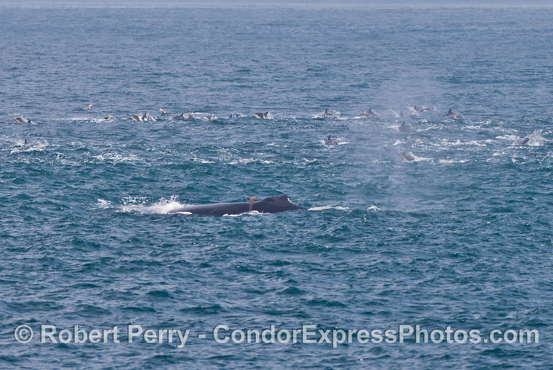 A humpback in a big herd of common dolphins,