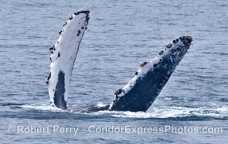 LIfe is good.  A humpback whale on its back.