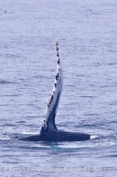 The very long pectoral fin of a humpback whale.