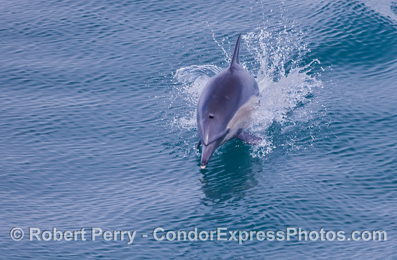 A leaping common dolphin.