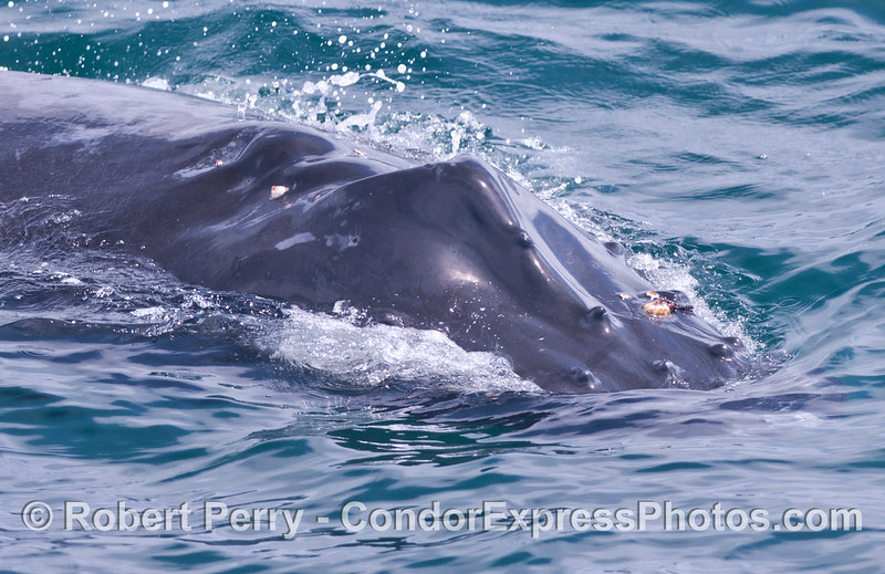 "Close look at a humpback calf with propeller scars on its back.  The crew has named this whale ""Shorty."""