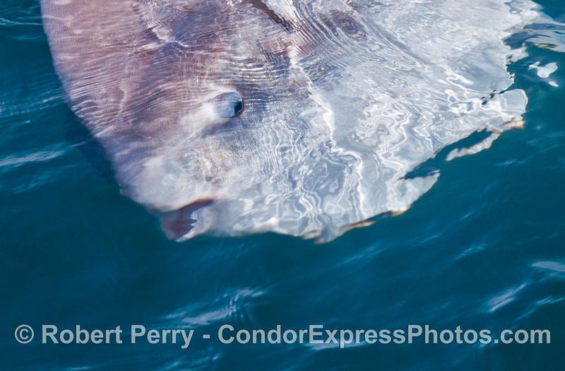 Ocean sunfish (Mola mola) close up.