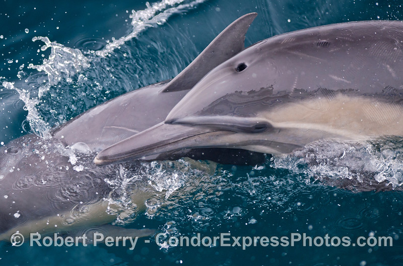 A close view of two common dolphins swimming closely together.