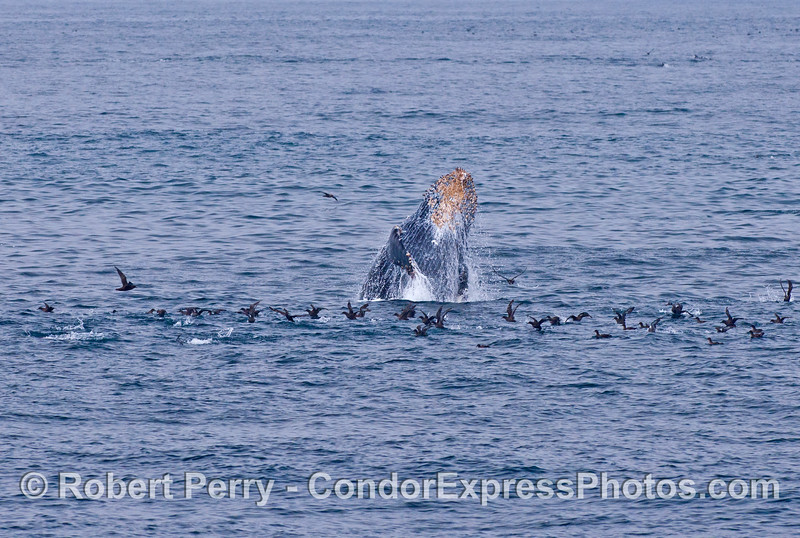 A young humpback breaches and sends a flock of sooty shearwaters flying.