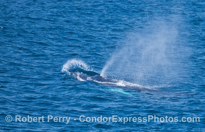 High speed travel - humpback whale.