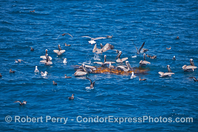 A small drifting kelp paddy attracts a large population of sea birds.