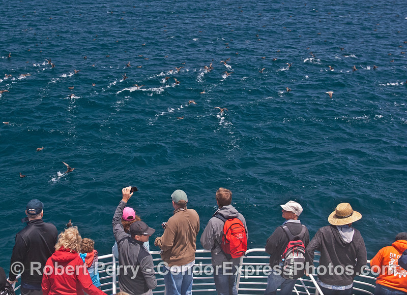 Passengers get close looks as a large flock of sooty shearwaters take flight.