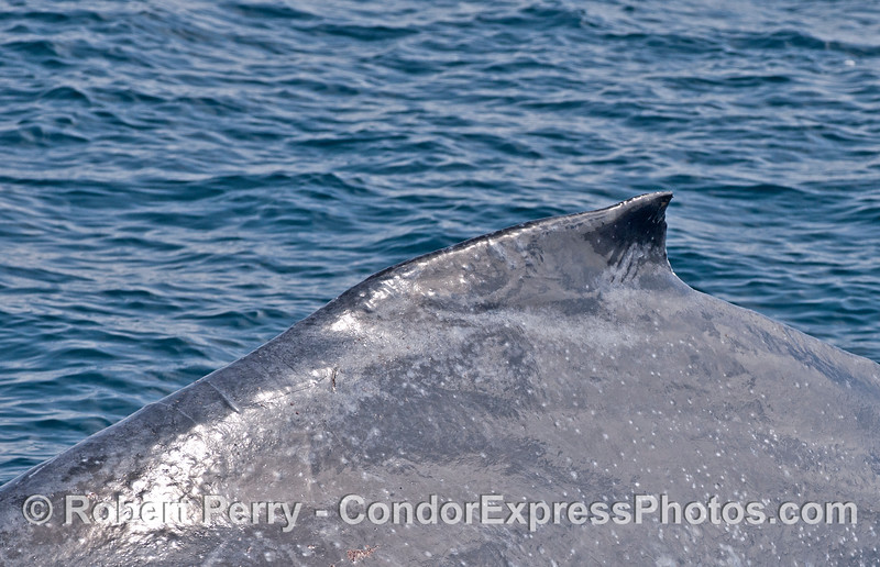 The hump and dorsal fin - humpback whale.