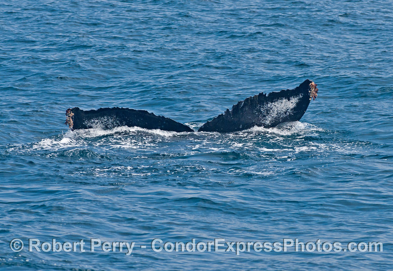 Last view of the tail flukes - deep diving humpback whale.