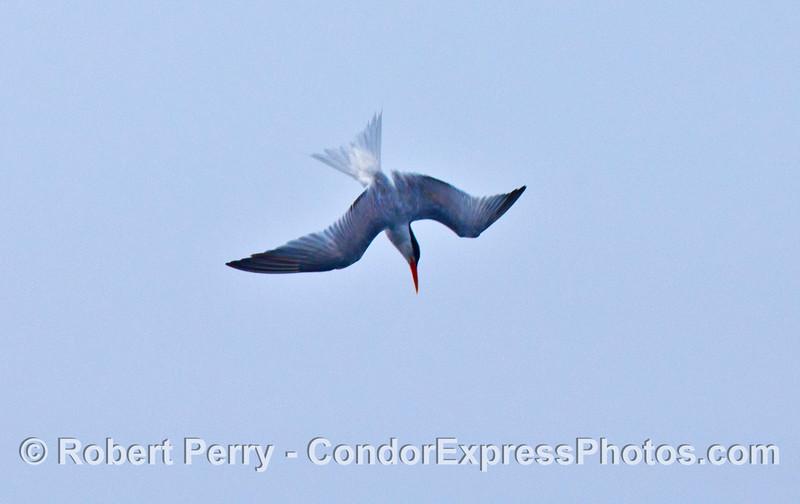 Diving elegant tern.