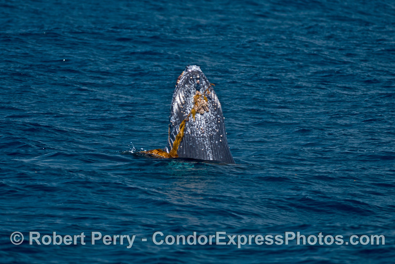 Giant kelp is draped across the chin of a juvenile humpback whale as it spyhops