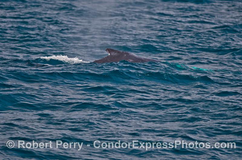 Humpback dorsal fin