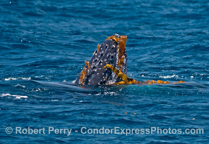 Juvenile humpback whale playing with kelp - spyhop