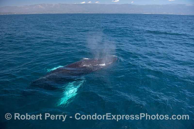 Humpback whale with white pectorals in blue water with the Santa Ynez Mountains in back