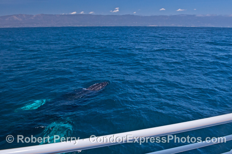 A friendly visit by an adult humpback whale with white pectoral flukes