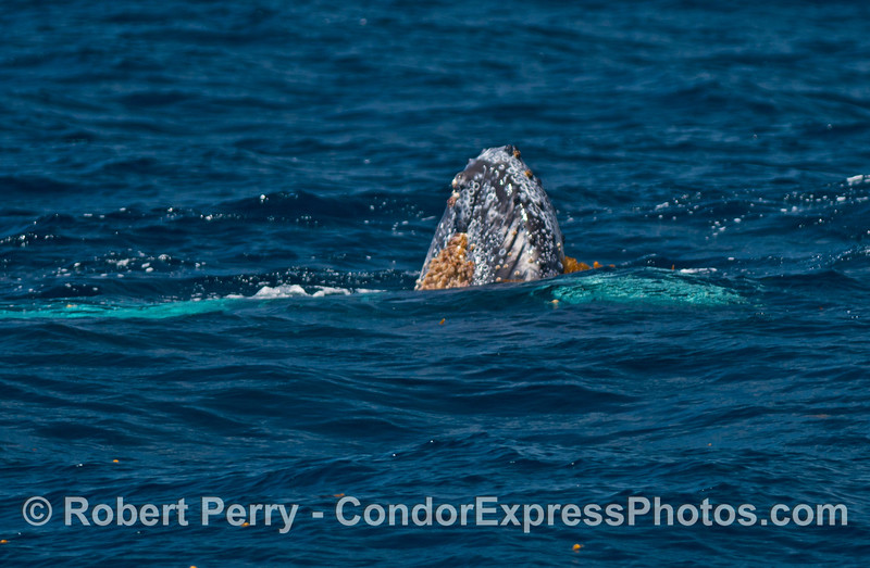 Juvenile humpback whale with white pectoral fins spyhopping