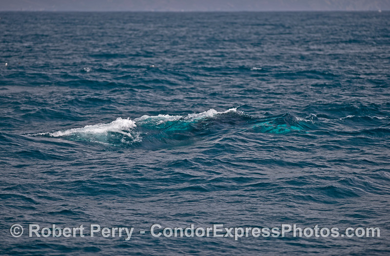 With wind and swells rising an adult humpback whale with white pectorals swims beneath the surface