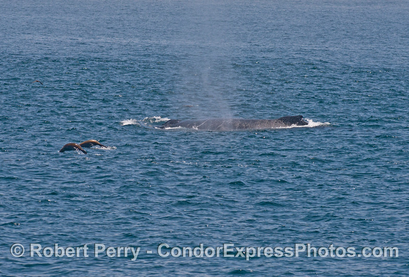 Two sea lions and a humpback whale
