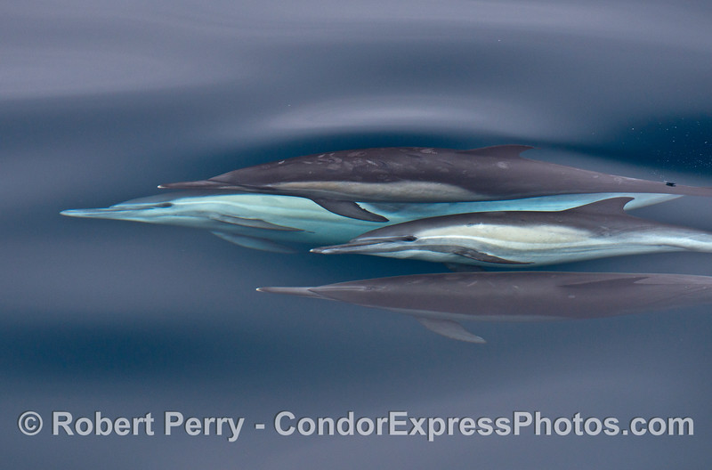 A quartet of common dolphins is photographed under the clear blue water