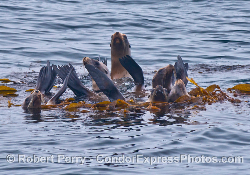 A raft of California sea lions relaxes in a giant kelp (Macrocystis) paddy