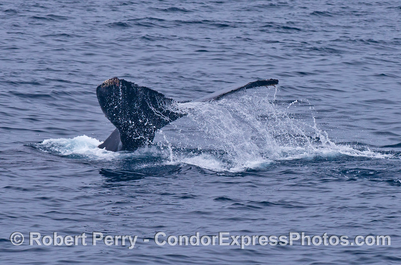 Waterfall - a humpback whale flukes up