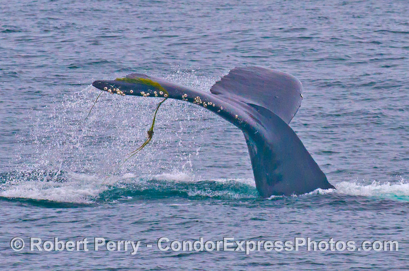 A humpback whale tail is shown with surf grass (Phyllospadix torreyi) temporarily caught on its barnacles