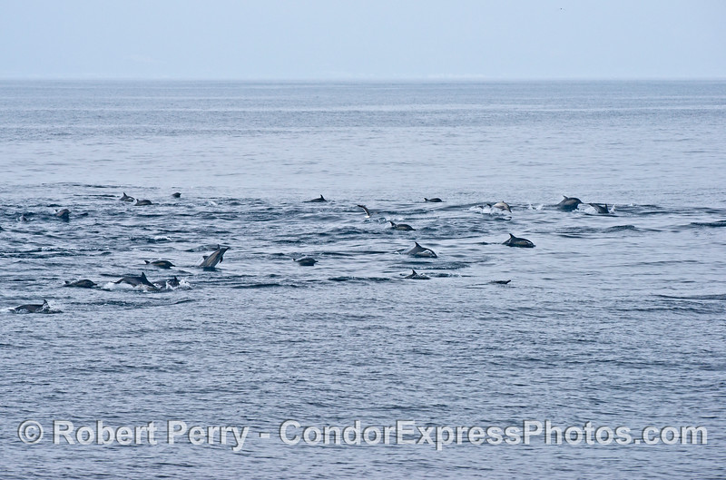 The leading edge of a common dolphin herd