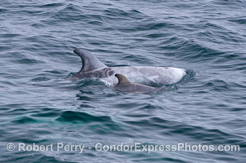 Dorsal fins large and small - mother and calf Risso's dolphins