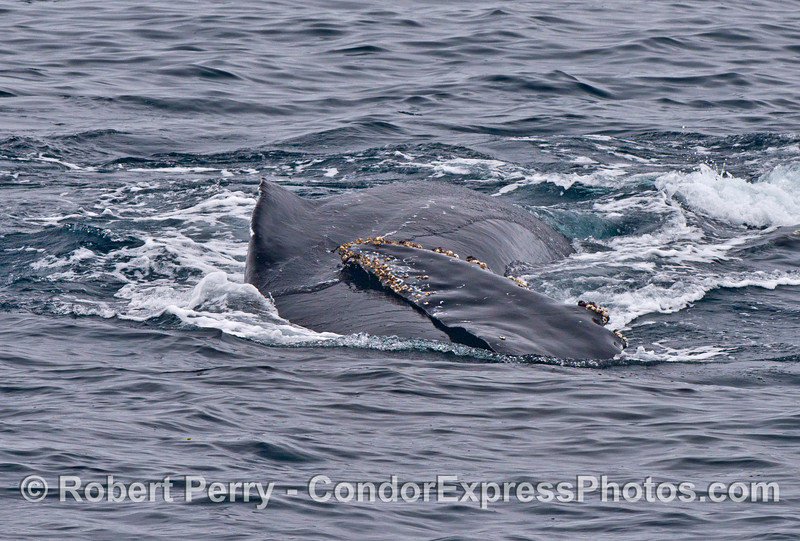 A humpback whale rolls around and shows its long pectoral fin