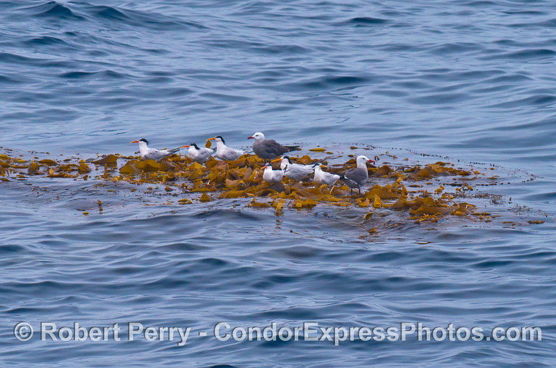 Elegant terns and 2 Heermann's gulls share a ride on a clump of drifting giant kelp (Macrocystis)