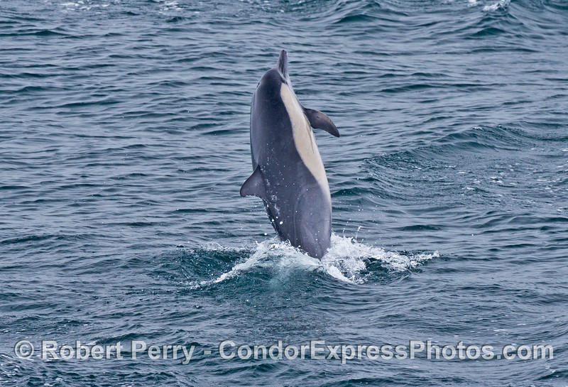 Image 2 of 2:  An energized common dolphin puts on a show