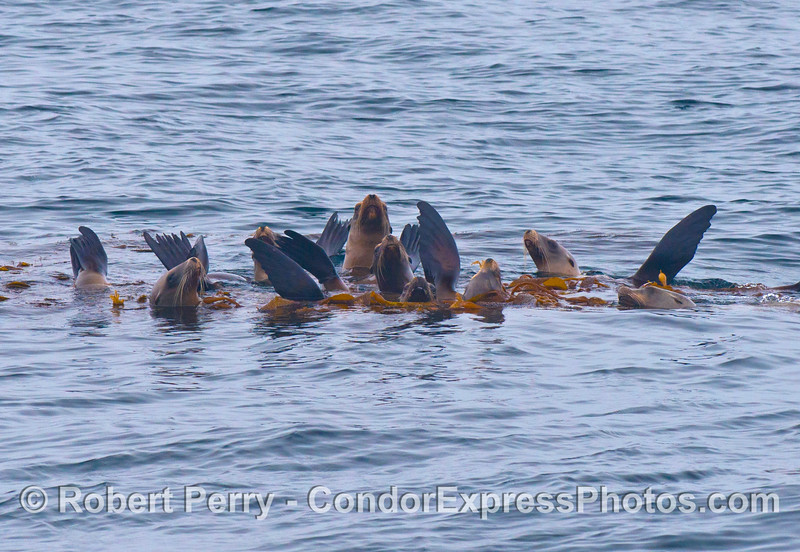 A raft of California sea lions relaxing in some giant kelp