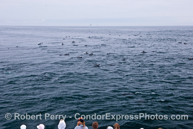 Part of a large herd of common dolphins