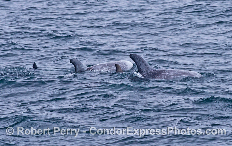 Risso's dolphins - two mothers with calves