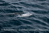 Image 1 of 2:  a very very light colored common dolphin.  Is it an albino?  I'm not sure.