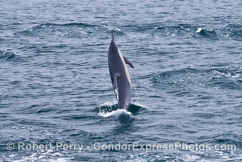 Image 1 of 2:  An energized common dolphin puts on a show