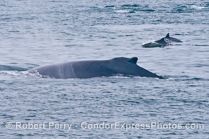 Common dolphins and a humpback whale - many dorsal fins