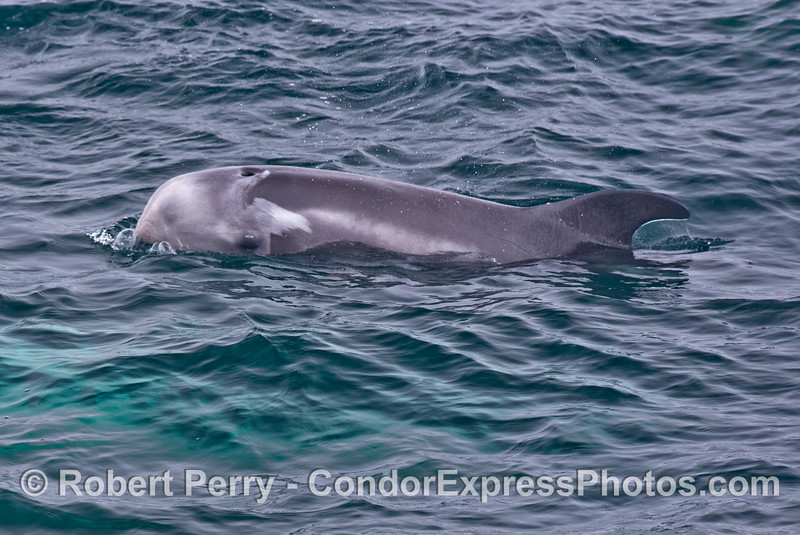 A close look at a medium sized Risso's dolphin calf with an unusual color pattern