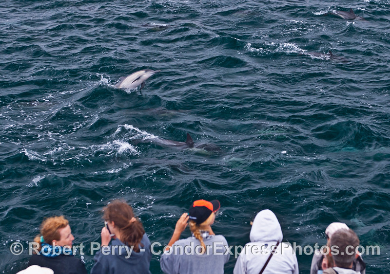 A common dolphin takes a look at the humans - who's watching who?