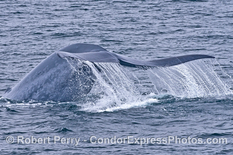 Image 2 of 2:   a blue whale kicks up its tail flukes