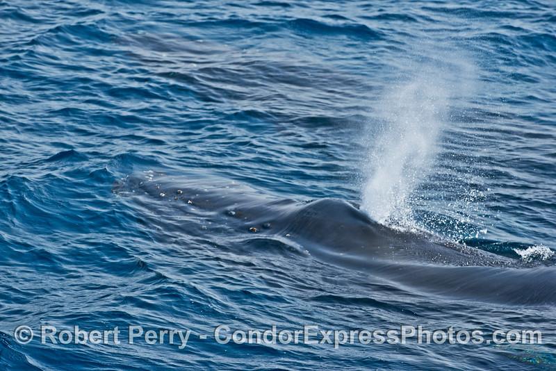 A spouting humpback